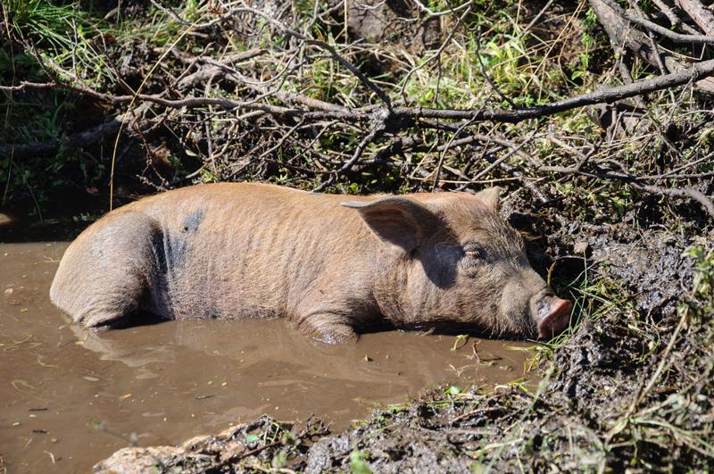 Cochon en Corse-du-Sud